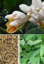 2 Zimtpflanzen bewurzelte Jungpflanzen bilden Ableger Balkonblume Duftblumen