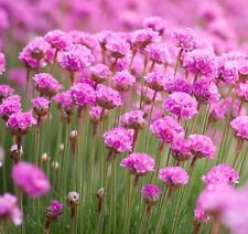 Armeria Maritima Sea Pink 25 seeds * perennial * CombSH B45