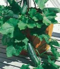 Heirloom SPACEMASTER Cucumber❋100 SEEDS❋Non GMO❋Compact Plants❋Excellent Yields