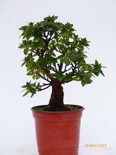 Bonsai Nr 0132 Japanische Azalee Satsuki Rhododendron indicum Japan Import