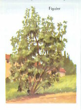 CARD 60s Arbre fruitier Trees Figuier Commun Ficus carica Common fig  Moraceae