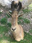 African Antelope Large Old Vintage Head Shoulder Mount Taxidermy Wall Décor