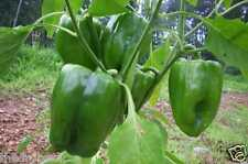 25 Green Bell Pepper Seeds, Fresh Organic Seed, Sweet capsicum Chile Chili Fruit