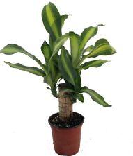 "Creme & Green Corn Plant - Dracaena  - 4"" Pot - Easy to Grow House Plant"