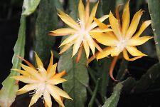 "Epiphyllum Blattkakteen Epicactus ""Wild Honey"" Jungpflanzen"