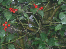 20 CENTENNIAL GIRL HYBRID HOLLY SEEDS - ILEX CENTROCHINESE X L . AQUIFOLIUM