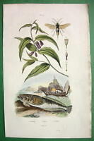 BELLWORT Flower & Uranoscopus Fish  !! SUPERB Natural History H/C Color Print