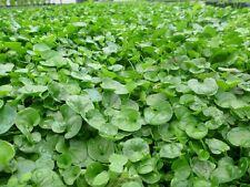 Semi sementi di prato dichondra dicondra repens 906 gr per giardino sempreverde