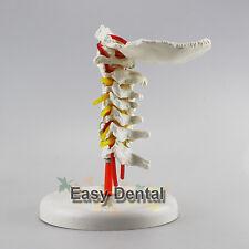 Cervical Vertebra Arteria Spine Spinal Nerves Anatomical Model Anatomy New