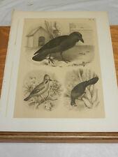 1878 Antique STUDER BIRD Print/NOBLE RAVEN, COMMON JAY, BANANA EATER