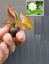 schnellwachsende Aquariumpflanzen gegen Algen im Aquarium weiße Bonsaiseerose