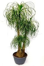 500 graines beaucarnea guatemalensis-Gros-Rouge Cheval plante
