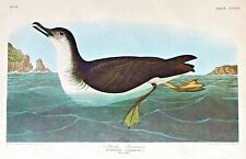 AUDUBON AMSTERDAM Double Elephant Folio MANKS SHEARWATER Plate #295 WATERMARKED
