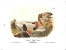 Canvass Back Duck Vintage Bird Print by John James Audubon
