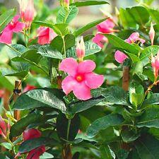 dipladenia mandevilla ~ rosa blumen ~ ausgereiftes und gut bewurzelte pflanze