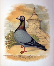"""Fancy Pigeon """" THE DRAGOON """" By James C. Lyell Poster Art 13"""" X 19"""""""
