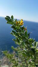 MEDICAGO ARBOREA 25 semi seeds Erba medica arborea Ginestra di mare shrub medick