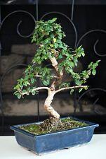 "Fukien Tea Bonsai with 6"" Ceramic Pot old specimen, 10"" - 12"" tall Mature Bonsai"