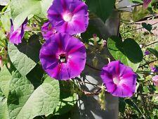 Samen Saatgut Blume Blüten ein Trichterwinde schnellwüchsig Zier-Topfpflanze.