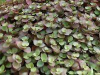 Callisia repens – bolivian jew, turtle vine 5cm 3 rooted cuttings