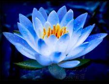 Rare Sacred Blue Lotus(Nelumbo Nucifera) Flower 15 seeds, High Germination