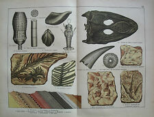 Paleontology, Fossil, Skull of Mastodonsaurus  ...Antique lithograph....1888