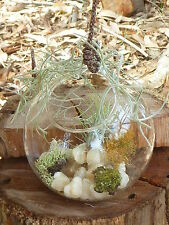 Terrarium Sit & Hang Glass 12cm Air Plant Tillandsia Ionantha Quartz Rocks