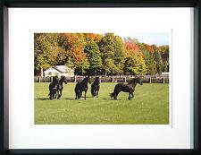 "Martha Stewart matted framed photo print of her  Friesian Horses In Paddock"" NEW"