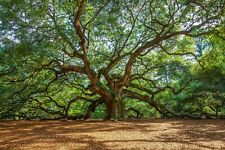Southern Photography Print - Picture of Angel Oak Tree Charleston South Carolina