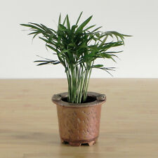 Neanthe bela Palm - Easy Care