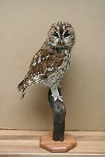 More details for taxidermy owl - tawny owl - birds -strix aluco  - with a10 certificate 607293/01