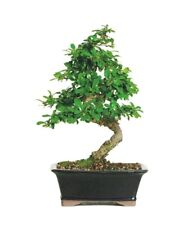 Brussel's Fukien Tea Bonsai Tree Medium Indoor Plant Home Office Decorative