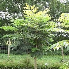 Aralia chinensis (20 graines )