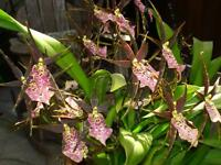 Rare orchid hybrid (seedling) plant - miltassia shelob