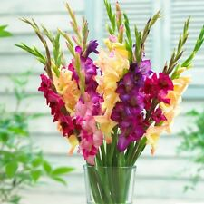 Dayglo Mix Gladiolus, 6 bulbs, Size 8/10