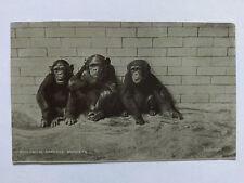 Chimpanzees London Zoo Vintage B&W postcard c1910 printed in Bavaria