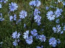 Heirloom Herb CHICORY Wildflower ✿3000 SEEDS✿Culinary✿Medicinal✿Coffee Subtitute