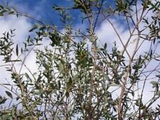 Temperate Cacti & Succulent Seeds