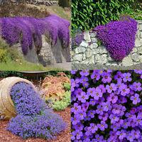Lot 220 pcs Cascade Purple Aubrieta Flower Seeds Perennial Ground Cover Romantic