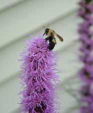 Perennial Liatris Spicata Purple Flower Bulb 10 Fresh Dug Deer Resistant