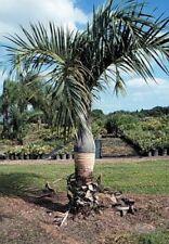 10 x Hyophorbe Verschaffeltii seeds.  Spindle Palm seeds.