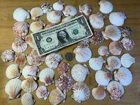 Scallop Shells Pecten Assortment 50 pcs. Beach Decor Craft US Seller! FREE Ship!