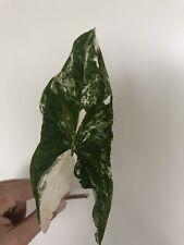 Syngonium Podophyllum Albovariegata Variegated Variegata Cutting