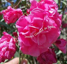 1 Oleander Kopfsteckling des ROSEUM PLENUM - gefüllte rosarote Blüten