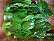 2 oz. Fresh Kaffir Lime Citrus Leaves Thai Gourmet Herbs | Great for tea
