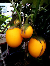 gelbe AUBERGINE solanum melongena, Eierfrucht, Kübel,Zimmer, Balkon,Biosaat