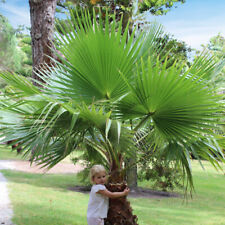 More details for pair of washingtonia cotton palm trees 70-80cm tall