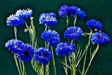 CORNFLOWER 'Blue' 100+ seeds Centaurea cyanus garden WILDFLOWER Bachelor button