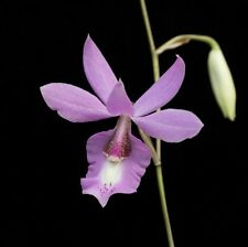 "Barkeria Butterflies Orchid Pink Flowers Fall Bloomer Bloom Size Seedling 4"" Pot"