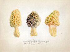 MOREL MUSHROOM MUSHROOMS limited edition botanical hand worked signed art print
